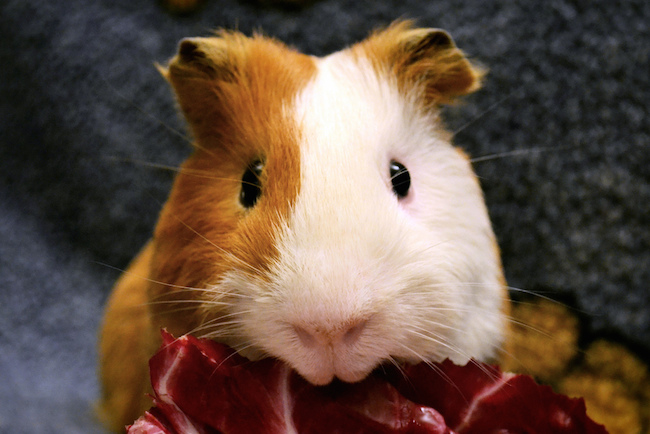 guinea pig eating a piece of red chicory